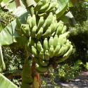 Image of Plant 100 Banana Trees